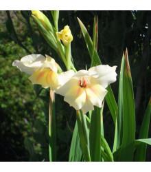 Mečík Nanus Halley - Gladiolus - cibule mečíků - 3 ks