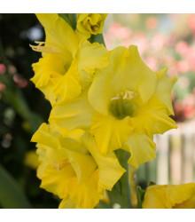 Gladiol Gold žlutý - prodej jarních cibulovin - 3 ks