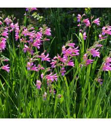 Mečík obecný - Gladiolus byzantinus communis - cibule mečíků - 3 ks