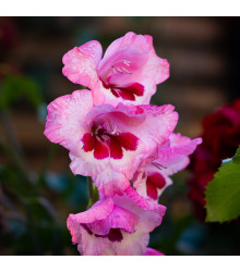 Gladiol Wine and Roses - cibule Gladiol - 3 ks