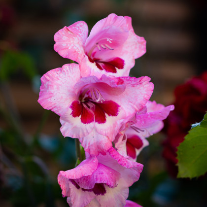 Gladiol Wine and Roses - Gladiolus - cibule mečíků - 3 ks