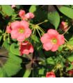 Čtyřlístek pro štěstí - Šťavel růžový - Oxalis deppei - cibule šťavele - 3 ks