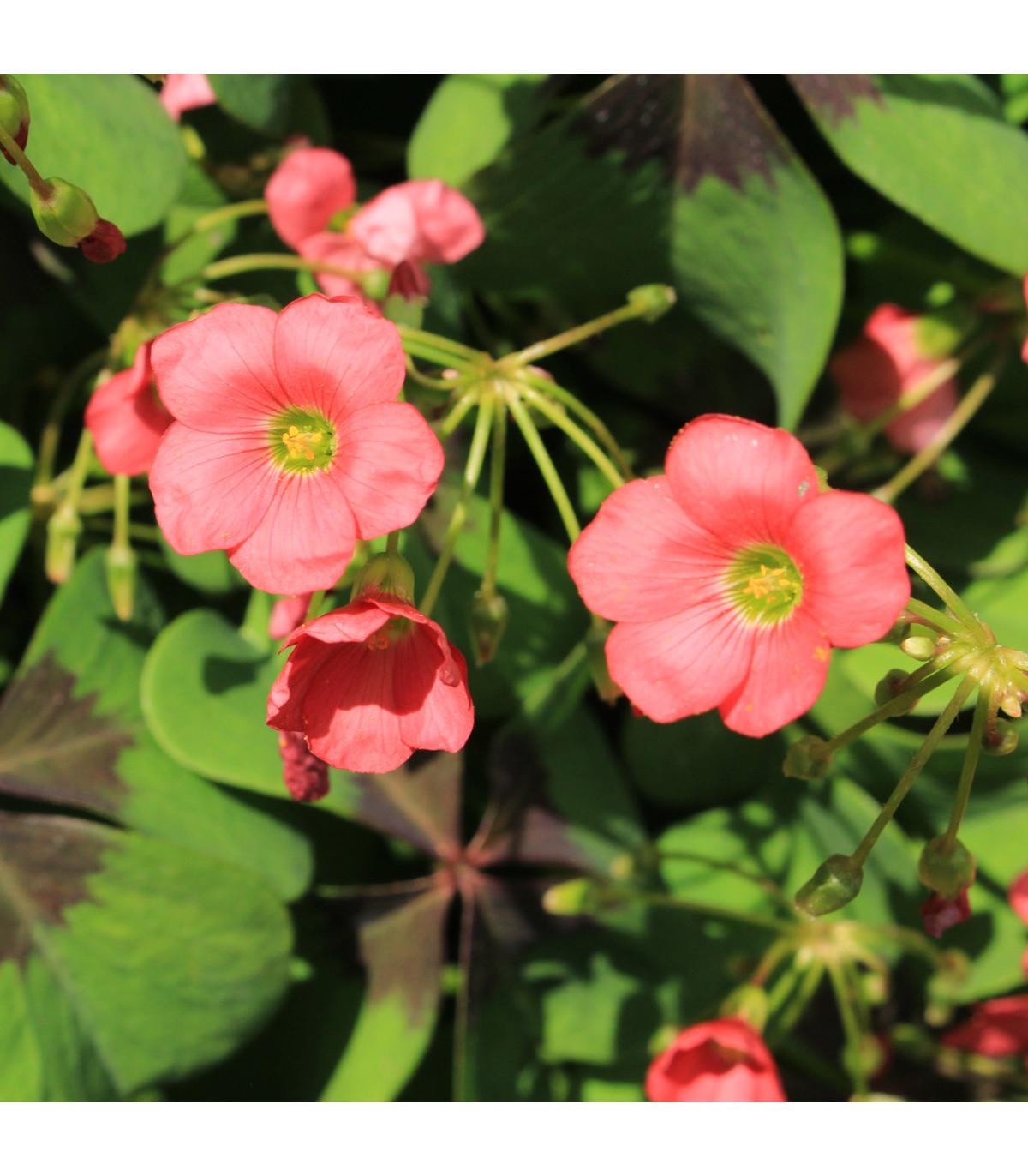Čtyřlístek pro štěstí - Šťavel růžový - Oxalis deppei - hlízy šťavele - 3 ks