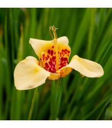 More about Tygřice zlatožlutá Aurea - Tigridia - cibule tygřice - 4 ks