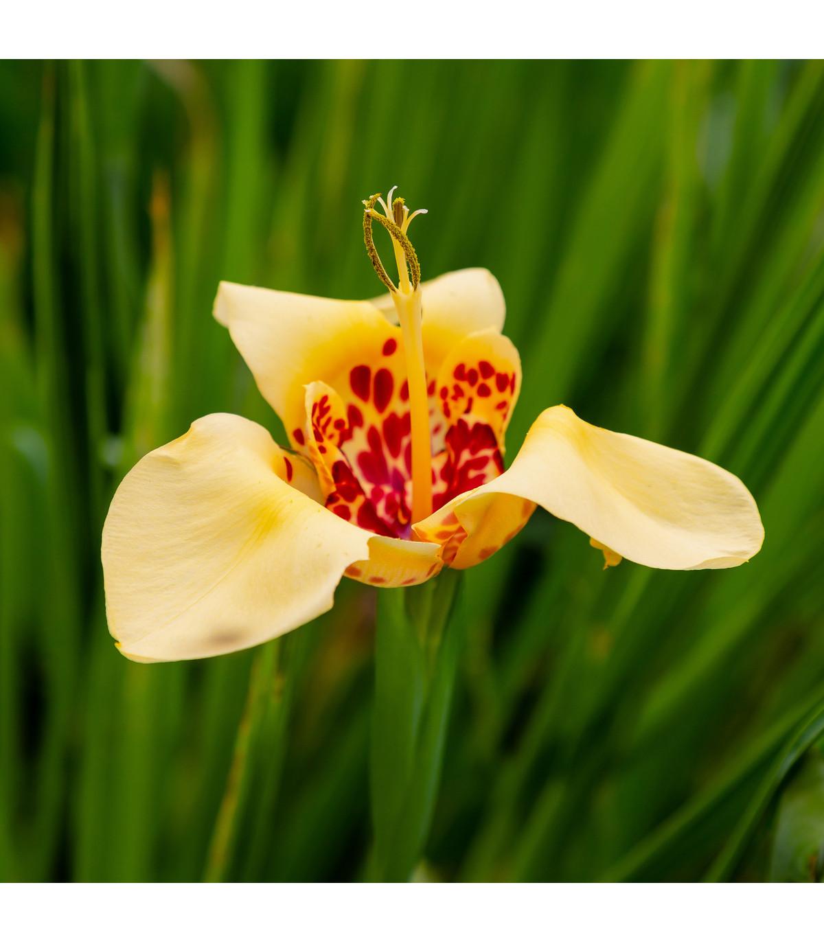 Tygřice zlatožlutá Aurea - Tigridia - hlízy tygřice - 4 ks
