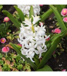 Hyacint Carnegie - bílý hyacint - prodej cibulovin - hyacinty - 1 ks