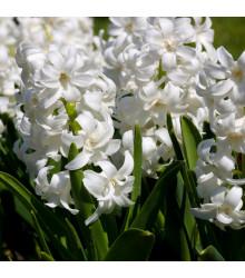 Hyacint White pearl - Hyacinthus orientalis - cibule hyacintů - 1 ks