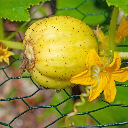 BIO okurka Lemon - Cucumis sativus - bio osivo okurky - 8 ks