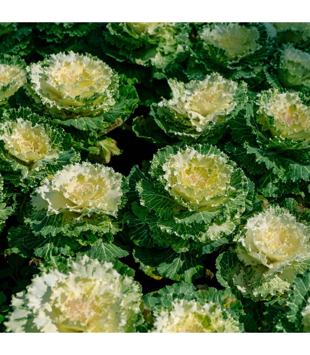 Okrasné zelí Nagoya F1 - Brassica oleracea - osivo okrasného zelí - 20 ks