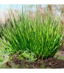 BIO pažitka pobřežní Polyvert - Allium schoenoprasum L. - bio osivo pažitky- 0,4 g