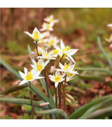 Tulipán Turkestanica - Tulipa - holandské cibule tulipánů - 3 ks