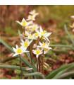 Tulipán turkestánský - Tulipa - cibuloviny - 3 ks
