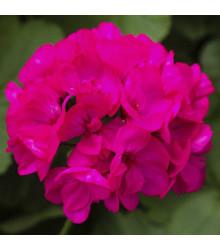 Muškát páskatý Nekita F1 Deep Rose - Pelargonium zonale - osivo muškátu - 4 ks