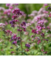 Bio Dobromysl obecná - Origanum vulgare - bio semena - 0,3 g