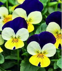 Violka rohatá Lemon Purple Wing - Viola cornuta - prodej semen - 20 ks