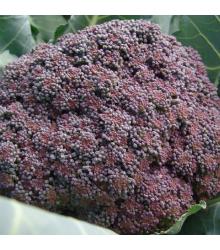Brokolice Miranda - Brassica Oleracea - semena brokolice - 30 ks