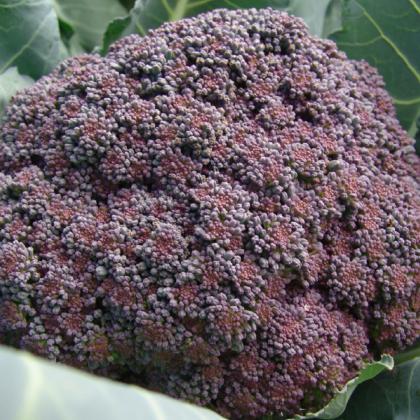 Brokolice Miranda - Brassica Oleracea - osivo brokolice - 30 ks