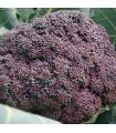 Brokolice Miranda- Brassica Oleracea- semena Brokolice- 30 ks