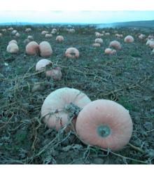 Tykev veltruská - plazivá velkoplodá - rostlina Cucurbita maxima - prodej semen tykve - 5 ks