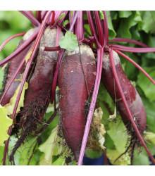 More about Řepa salátová válcovitá Forono - Beta vulgaris - osivo řepy - 160 ks