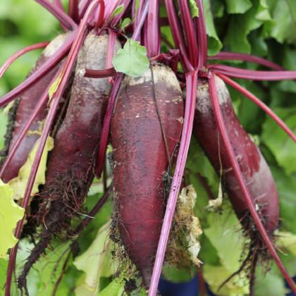 Řepa salátová válcovitá Forono - Beta vulgaris - osivo řepy - 160 ks