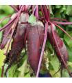 Řepa salátová válcovitá Forono - Beta vulgaris - semena řepy - 160 ks