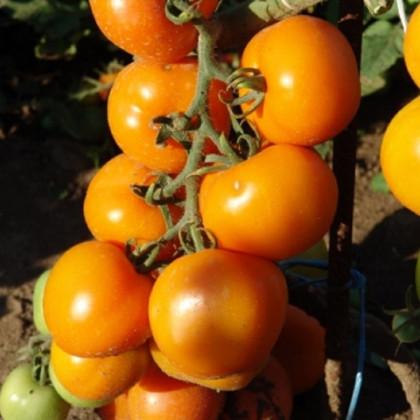 Rajče Zlatava - tyčkové rajče - Lycopersicon Esculentum - semena rajčat - 15 Ks