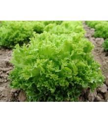 Salát Rekord - Lactusa sativa - semena salátu - 0,3 g