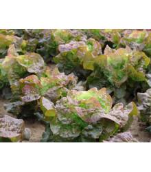 Salát hlávkový červený Rosemarry - Lactuca sativa - semena salátu - 200 ks
