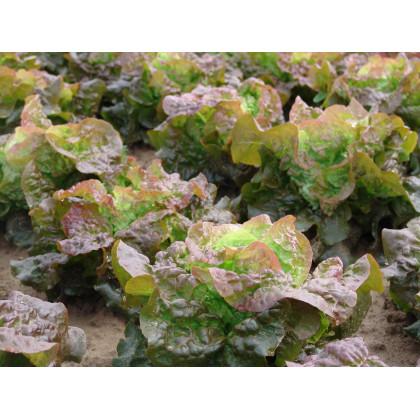 Salát hlávkový červený Rosemarry - Lacrusa sativa - osivo salátu - 0,3 gr