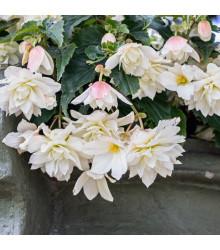 More about Begonie Pendula - Begonia pendula maxima - cibule begonie - 2 ks