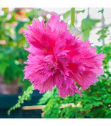 Begonie růžová třepenitá - Begonia fimbriata - cibule begónie - 2 ks
