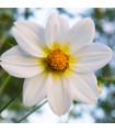 Jiřinka topmix bílá - Dahlia - cibule jiřinek - 1 ks