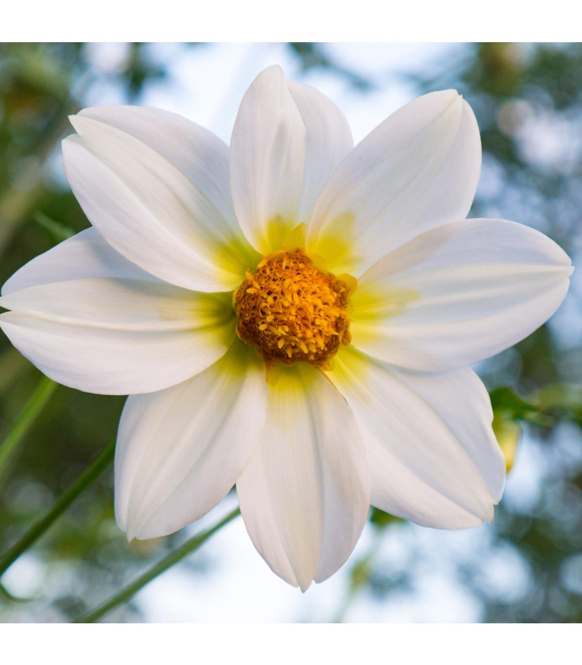 Jiřinka Topmix bílá - Dahlia - hlízy jiřinek - 1 ks