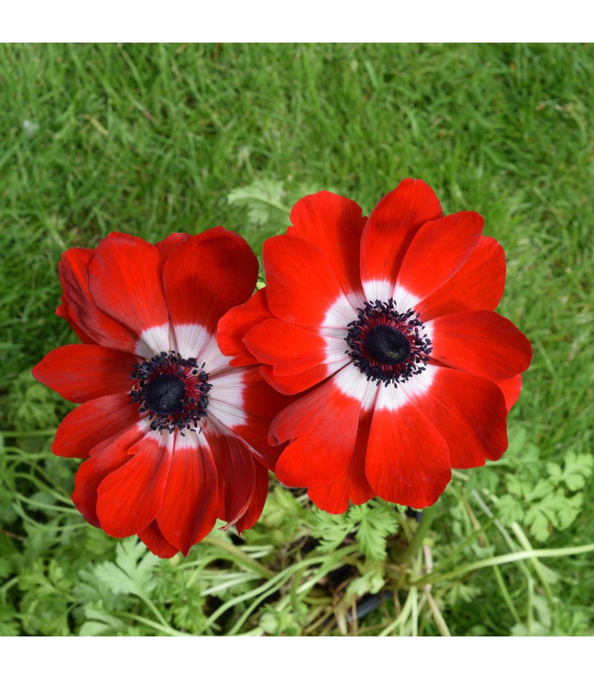 Sasanka Hollandia - Anemone - hlízy sasanek - 3 ks