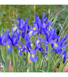 Kosatec Fialová senzace - Iris - cibule kosatce - 3 ks