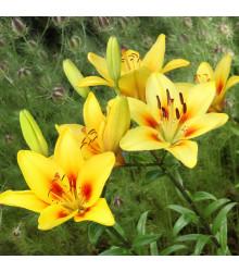 Lilie zlatohlavá žlutá Lilium martagon - holandské cibule lilií - 1 ks