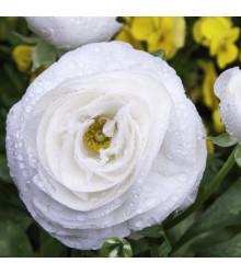 Pryskyřník plnokvětý bílý - Ranunculus asiaticus - hlízy pryskyřníku - 3 ks