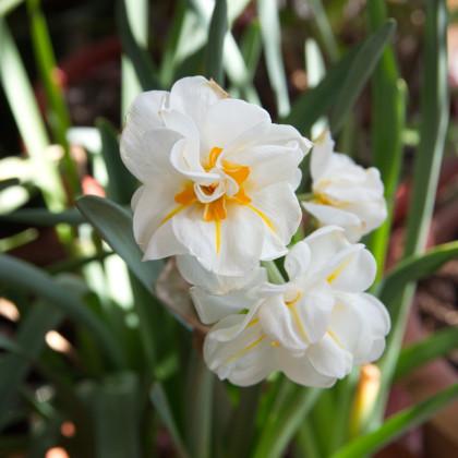 Narcis bílý plnokvětý - Sir Winston Churchill - cibule narcusů - 3 ks