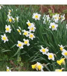 Narcis Poeticus Pheasant eye Recurvus - Narcissus - cibule narcisů - 3 ks