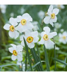 Narcis Actaea - Narcissus - cibule narcisů - 3 ks