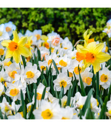 Balíček cibulek narcisů - Narcissus - cibule narcisů - 12 ks