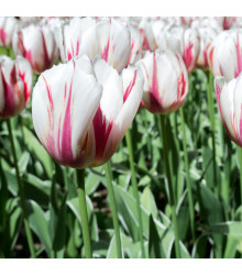 Tulipán Happy Generation - Tulipa - holandské cibule tulipánů - 3 ks