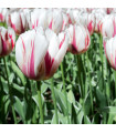Tulipán Happy Generation - cibuloviny z Holandska - 3 ks