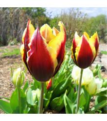 More about Tulipán Gavota - Tulipa - cibule tulipánů - 3 ks