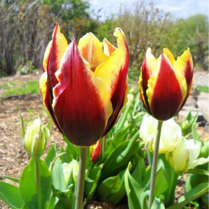 Tulipán Gavota - Tulipa - cibule tulipánů - 3 ks