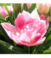 Tulipán Peach Blossom - prodej tulipánů - holandské tulipány - 4 ks