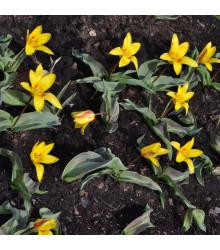 Tulipán Giuseppe Verdi - Tulipa - holandské cibule tulipánů - 3 ks