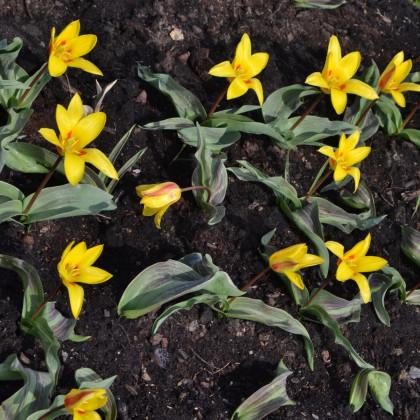 Tulipán Giuseppe Verdi - Tulipa - cibule tulipánů - 3 ks
