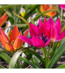 Směs nízkých tulipánů - Tulipa - holandské cibule tulipánů - 24 ks